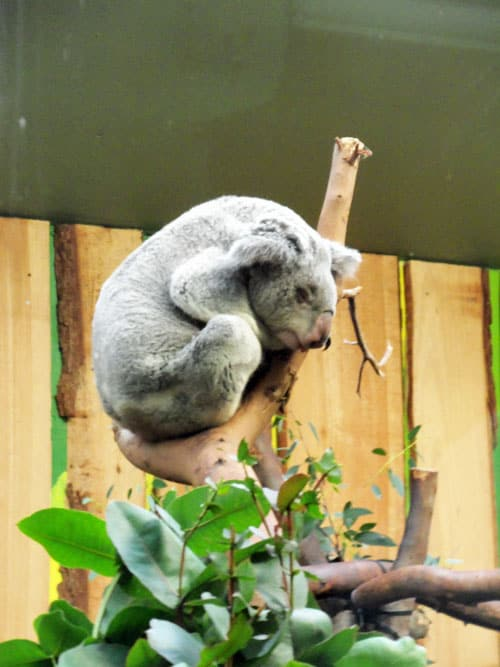 Koala at Edinburgh Zoo