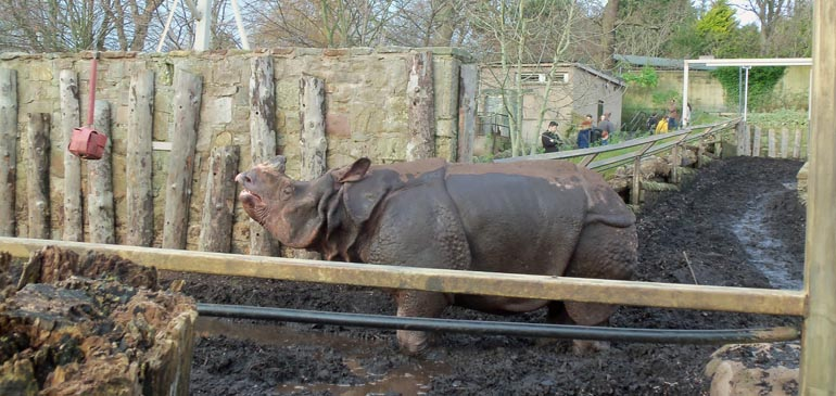 Rhino at Edinburgh Zoo