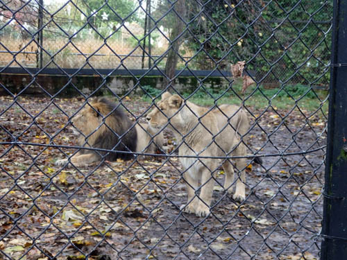 Lions at Chester Zoo