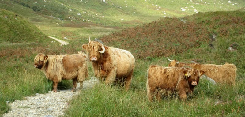 Group of Highland Cows on the Isle of Arran