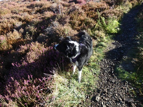 Border collie in heather