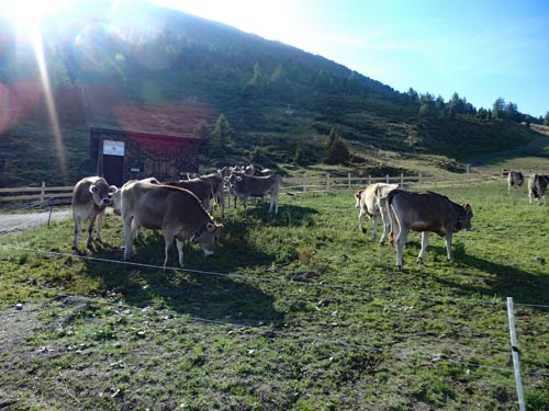 Cows in Austria