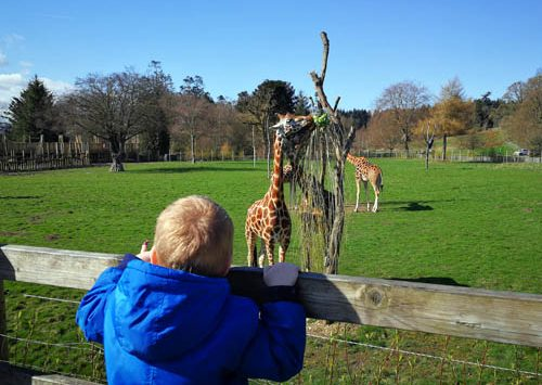 Young boy watching the giraffes