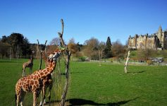 Giraffes at Blair Drummond