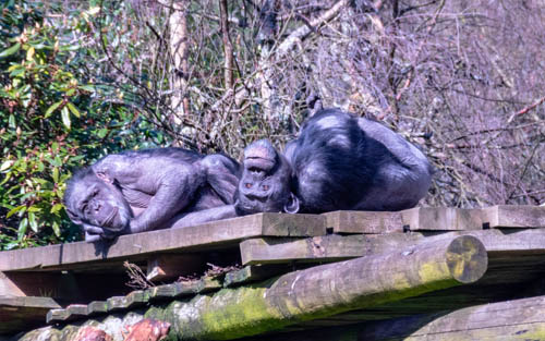 Chimps at at Blair Drummond