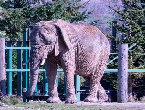 Elephant at Blair Drummond